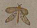 Dotted Veld Antlion (Palpares sobrinus) female (13644287413).jpg