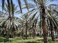 Douz palm oasis.jpg