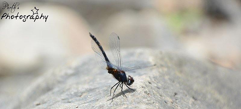 File:Dragonfly (46335656).jpeg