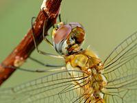 Dragonfly head 9166.JPG