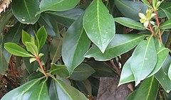 240px drimys winteri hojas