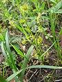 Droseraceae peltata.jpg