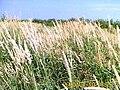 Dry grass halms.jpg