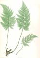 Dryopteris sp Moore27.png