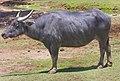 Dubbo Zoo (3148660022).jpg