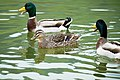 Ducks (250868001).jpeg