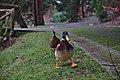 Ducks walking in Parc Tenreuken, Auderghem, Belgium (DSCF2944).jpg