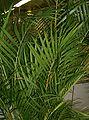 Dypsis lutescens2.jpg