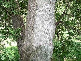 Coniferous swamp - Bark of the northern white cedar