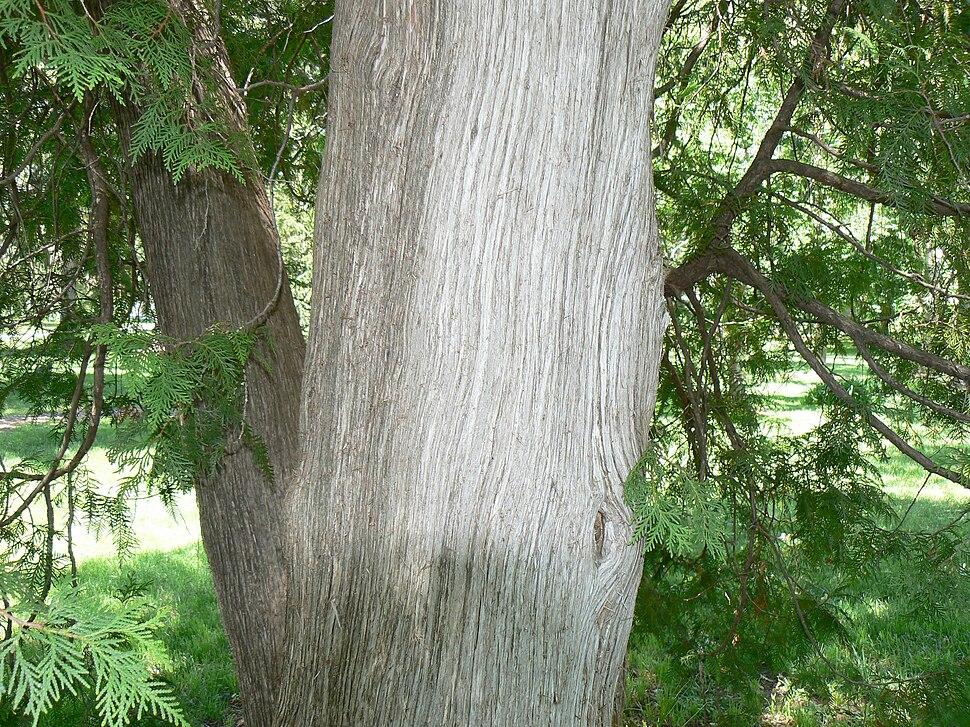 Eastern Arborvitae (Thuja occidentalis) bark and foliage