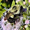 Eastern Bumble Bee (Bombus impatiens) (6489709385).jpg