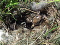 Eastern Cottontail rabbit nest 20090524 jhansonxi.jpg