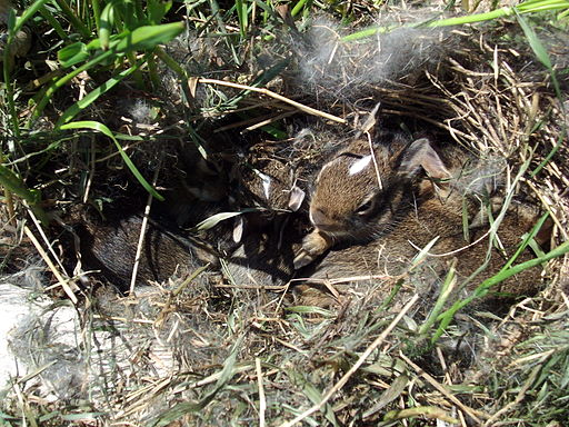 Eastern Cottontail rabbit nest 20090524 jhansonxi