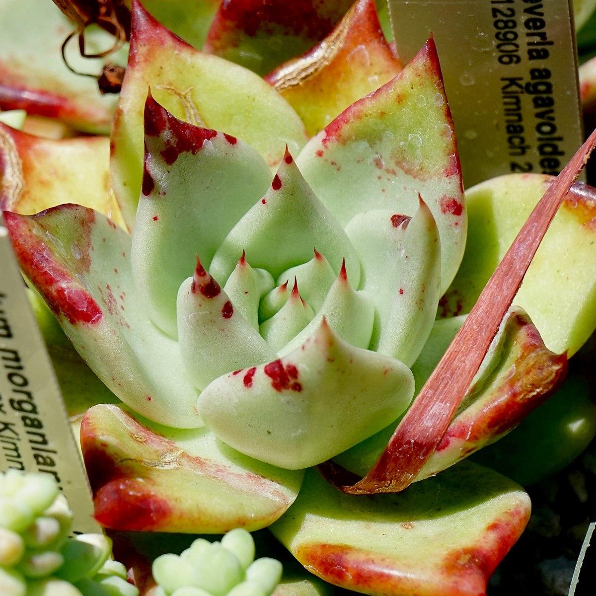 The Genus Echeveria Pdf