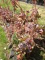Echeveria gibbiflora 1c.JPG