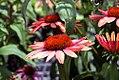 Echinacea Summer Sky 4zz.jpg