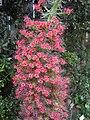 Echium wildpretii - Berlin Botanical Garden - IMG 8803.JPG