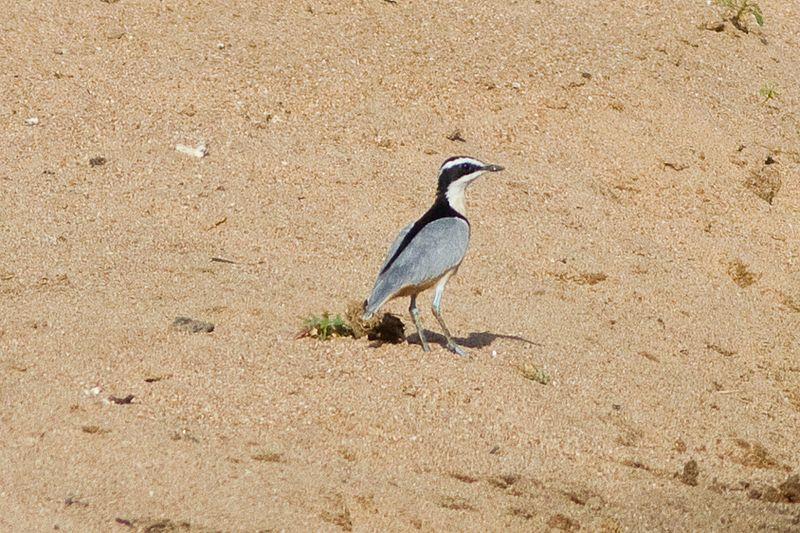 File:Egyptian Plover (Pluvianus aegyptius) at the Bénoué National Park 01.jpg