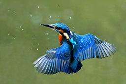 Ein Eisvogel im Schwebflug