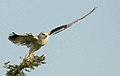 Elanus caeruleus00.jpg