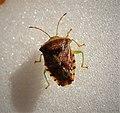 Elasmucha grisea (Parent bug). (44672753171).jpg