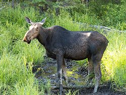 Elg i Algonquin Provincial Park, Ontario i Canada.Foto: Dirk Bauernfeind, juni 2005