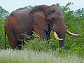 Elephant Bull (Loxodonta africana) (11929092383).jpg