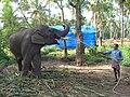 Elephant Guruvayoor Washing 003.JPG