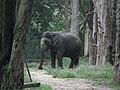 Elephant from Bannerghatta National Park 8650.JPG