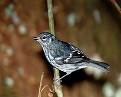Elfin-woods Warbler on a tree Reinita de bosque enano (5839908523).jpg