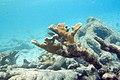 Elkhorn coral Acropora palmata (2442957411).jpg