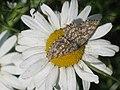 Ematurga atomaria - Common heath - Пяденица вересковая (40216228204).jpg