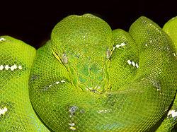 Emerald tree boa444.jpg