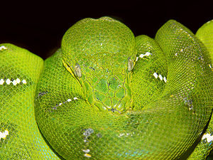Emerald tree boa - Image: Emerald tree boa 444