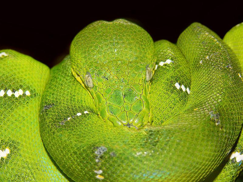 Serpiente: Boa Esmeralda 800px-Emerald_tree_boa444