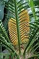 Encephalartos altensteinii kz1.jpg