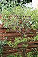 Enzianstrauch (Solanum) (19255141985).jpg