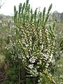 Epacris rhombifolia foliage and flowers.jpg