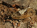 Epinotia brunnichana (41261051141).jpg