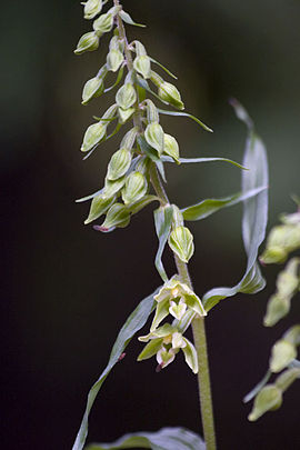 Epipactis phyllanthes.jpg
