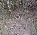 Equisetum arvense strobili on Irvine Sand dunes.jpg