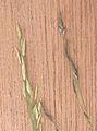 Eragrostis tef spiklets.jpg