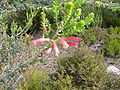 Erica fourcadei flower new growth.JPG