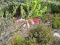 Erica fourcadei flower new growth.JPG