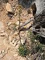 Eriogonum alatum.jpg