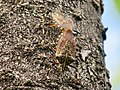 Erthesina fullo mating on the wood - 1.jpg