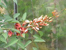 Erythrina crista-galli4.jpg