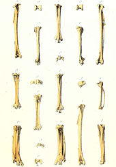 An illustration of bird bones laid out in vertical rows