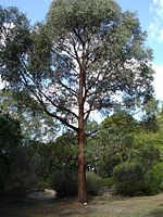 Eucalyptus radiata tree
