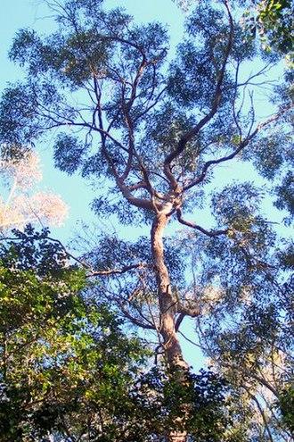 Eucalyptus resinifera - Red mahogany at Chatswood West, New South Wales, Australia